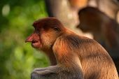 Malaysia. The Long-nosed Monkey Or Kahau (lat. Nasalis Larvatus) -- A Species Of Primates From The S poster