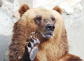 image of paw  - The brown bear welcomes with a paw - JPG