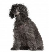 image of 16 year old  - Old Poodle - JPG