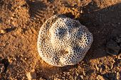 White Coral On Yellow Brown Beach Sand. Natural Coral Closeup On Sea Sand. Dead Coral Drifted By Wav poster