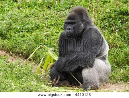 Adult Male Silver Back Gorilla