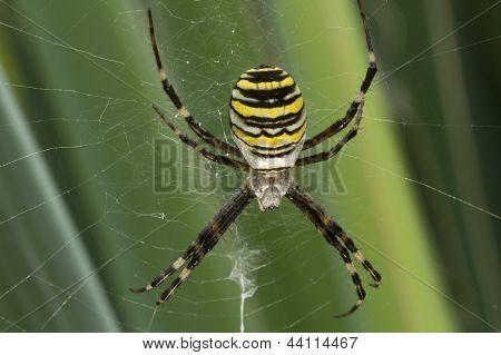 Yellow-black Spider