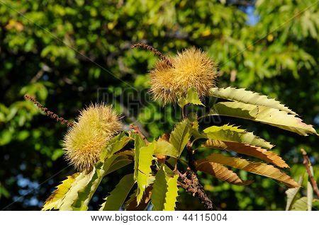 Chestnuts growing on tree, Spain.