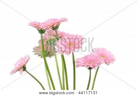 Pink gerbers isolated on white background