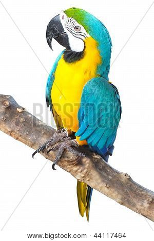 Parrot Is Standing On Branch