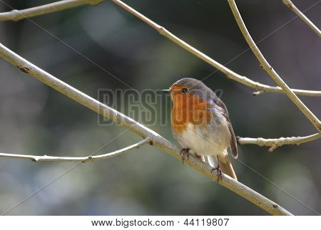 Adult Robin (Erithacus rubecula)