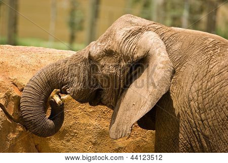 A young elephant covered with dirt playing with a stick