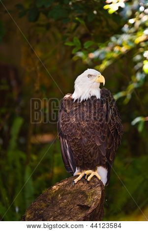 Eagle sitting on a stump in the shade