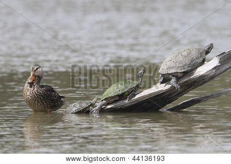 Female Mallard And Three Turtles - Texas