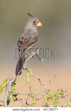 Pyrrhuloxia Perched In A Thorn Tree