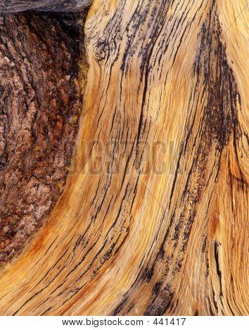 Bristlecone Pine Bark