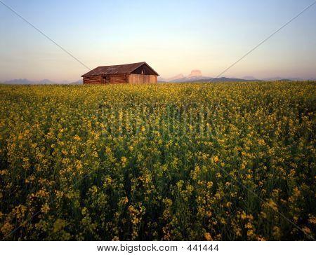Barn & Canola Field