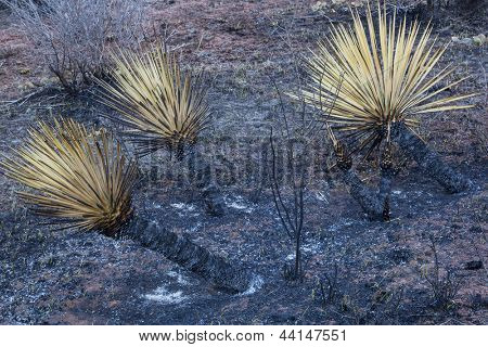 burnt yucca and bushes after Galena wildfire in Lory State Park near Fort COllins, Colorado, green grass starting to regrow, April of 2013