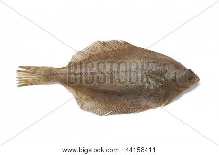 Single Common dab fish on white background