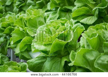 Fresh Hydroponic Vegetables