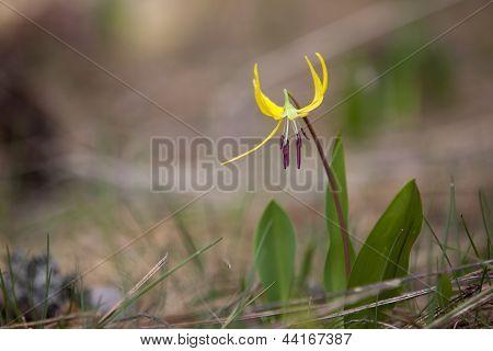 Glacier Lily.