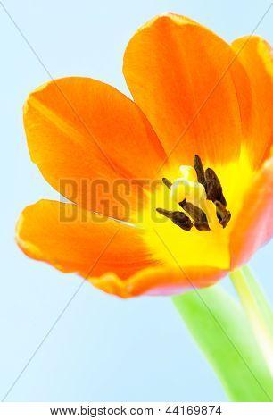 Vivid Orange Tulip close-up
