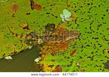 Caiman On A Lilly Pad In A Rain Forest Pond