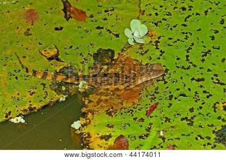 Jacaré em uma almofada de Lilly em uma chuva Lagoa da floresta