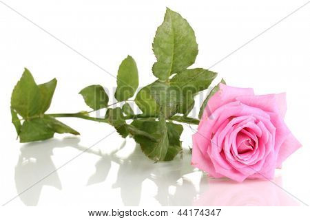 Beautiful pink rose isolated on white