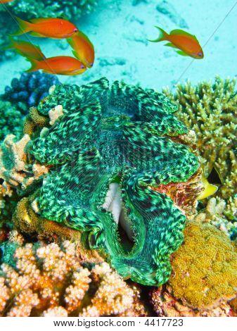 grüne Riesenmuscheln