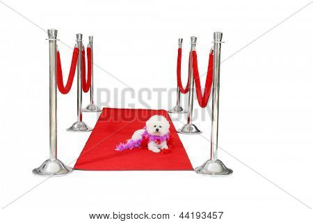 Jolie a Pure Breed Bichon Frise dog, relaxes on her HOLLYWOOD RED CARPET while she awaits on her Paparazzi to come take her pictures after her latest movie premier.