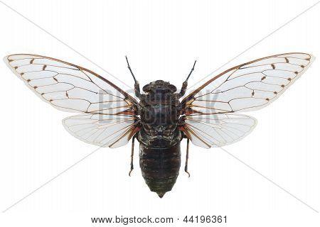 Giant Cicada Pomponia Intermedia Isolated