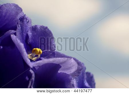 viola flower on a sky background