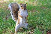 stock photo of ground nut  - squirrel standing up on a grassy field - JPG