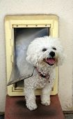stock photo of peep hole  - A Bichon Frise dog Smiles as she goes through her Dog Door - JPG
