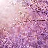 Beautiful tender cherry tree blossom in morning purple sun light, floral background, spring blooming