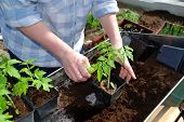 stock photo of pot plant  - woman planting tomato plant in new pots - JPG
