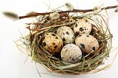 stock photo of quail egg  - Five quail eggs in nest with willow branch close up - JPG
