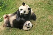 stock photo of pandas  - Giant panda bears  - JPG