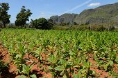 picture of tobacco leaf  - Tobacco plants growing in a field in Vinales - JPG