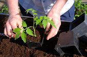 stock photo of tomato plant  - woman planting a tomato plant in plastic pot - JPG