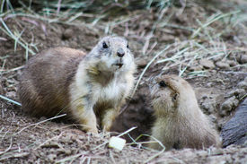 stock photo of groundhog  - Groundhogs - JPG