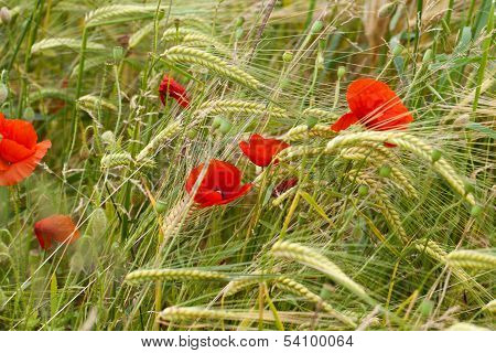 Close up of red poppies on the corn-field