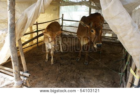 Cowshed With Mosquito Net