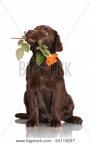 adorable chocolate labrador retriever puppy