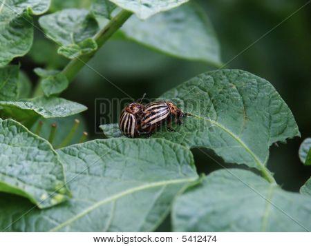 Potato Beetle Krompirova Zlatica Leptinotarsa Decemlineata