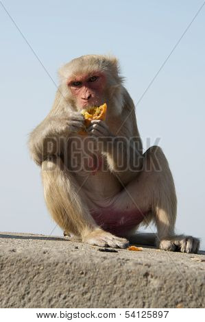 Female rhesus macaque eating