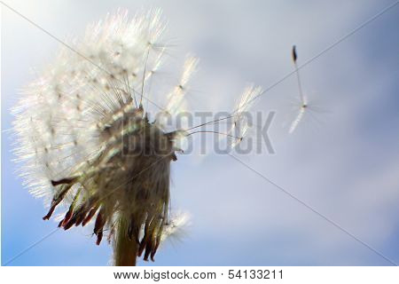 Dandelion and one seed flying away