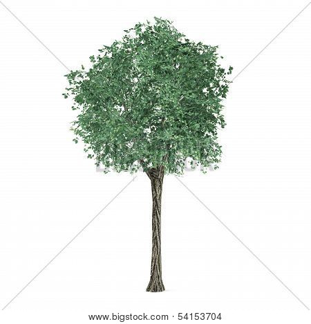 Tree isolated. Tilia