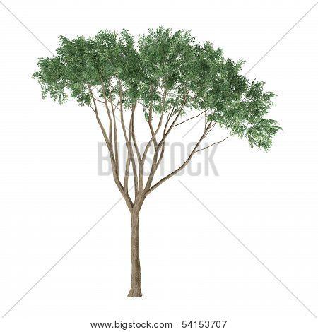Tree isolated. Ulmus Campestris