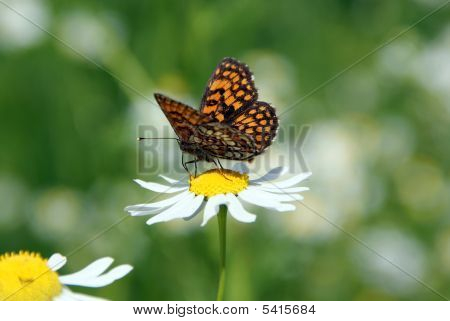 Butterfly On Mayweed Flower