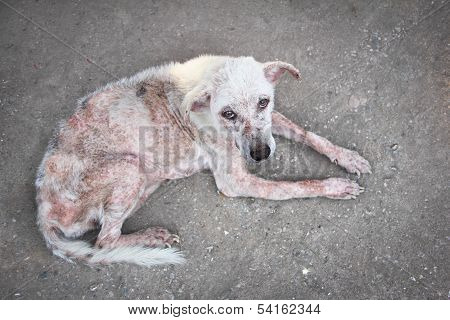 Scabies White Dog