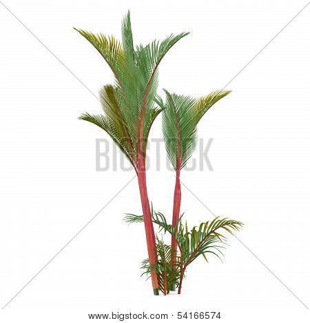 Palm plant tree isolated. Cyrtostachys renda