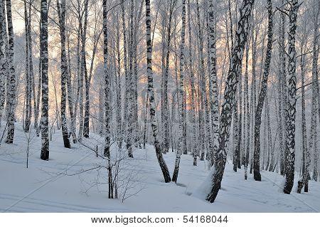 Sunset in winter birchwood.