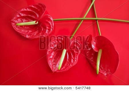 Anthurium Exotic Beautiful Red Flower Still